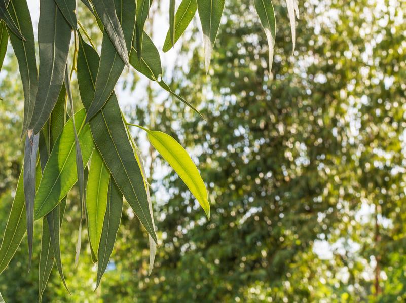 Eukalyptus die bekannteste Heilpflanze Australiens