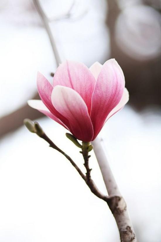 Magnolie Blüte natürliche Schönheit bezaubert