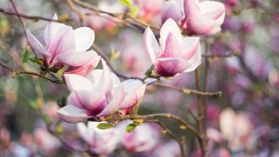 Magnolie rosa Blüten