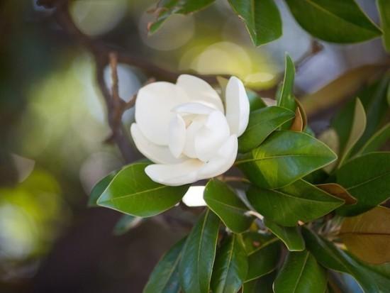 Magnolie weiße Blüte schön pflegeleicht