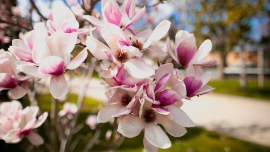 Magnolie zarte Blütenpracht dezenter Duft natürliche Schönheit