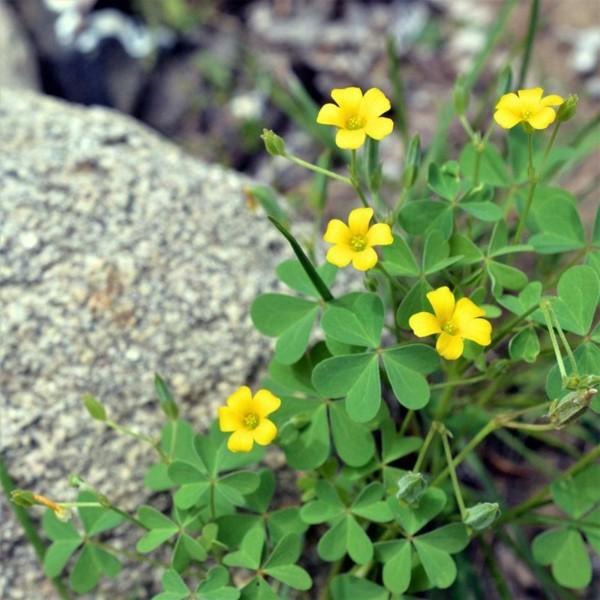 Oxalis pflasterfugen begrünen gegen unkraut bodendecker gelbe blüten