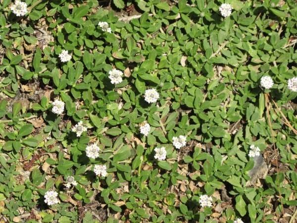 Phyla nodiflora 'Summer teppichverbene als pflasterfugen begrünung
