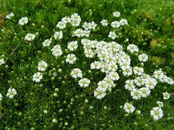 Sternmoos sagina subulata irish moos pflasterfugen begrünen
