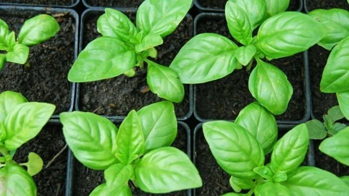 Ungeziefer bekaempfen gartenpflanzen gegen muecken basilikum im topf