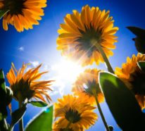 Gartenpflanzen, mit denen man Ungeziefer bekämpfen und fernhalten kann