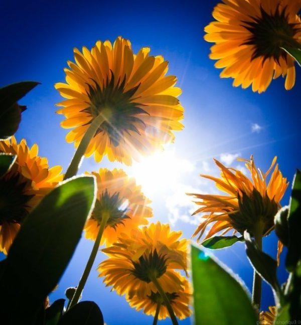 Ungeziefer bekaempfen gartenpflanzen gegen muecken ringelblume insektenperspektive