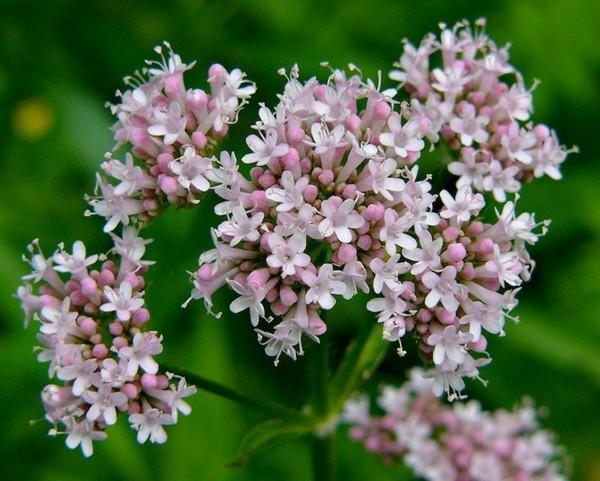 baldrian valeriana officinalis bienenweide bienentrachtpflanze