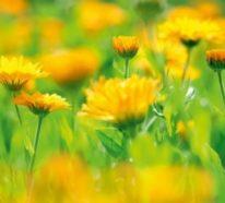 Warum sind Ringelblumen wichtig für unsere Gesundheit?