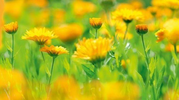 bienenfreundliche Pflanzen ringelblumen ringelblume feld