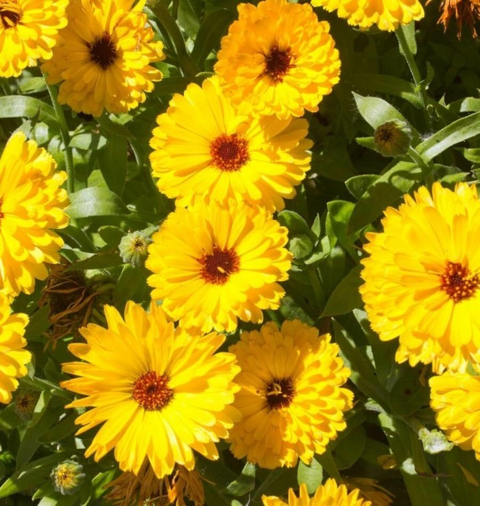 15 well-known and bee-friendly plants for garden or balcony