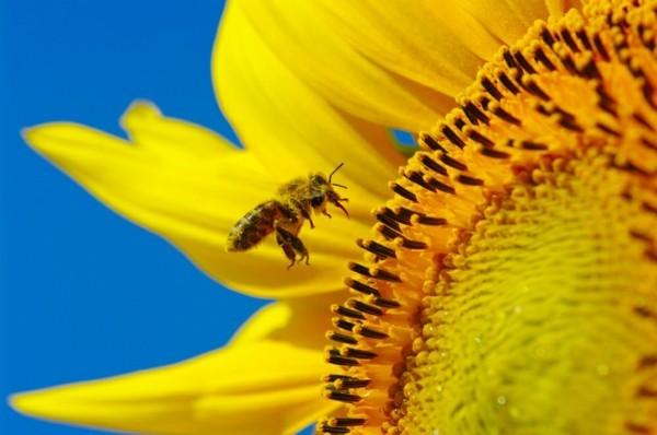 bienenweide bienenpflanze sonnenblume bienengarten anlegen