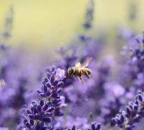 Bienenweide: Welche sind die besten Pflanzen für fleißige Bienchen?