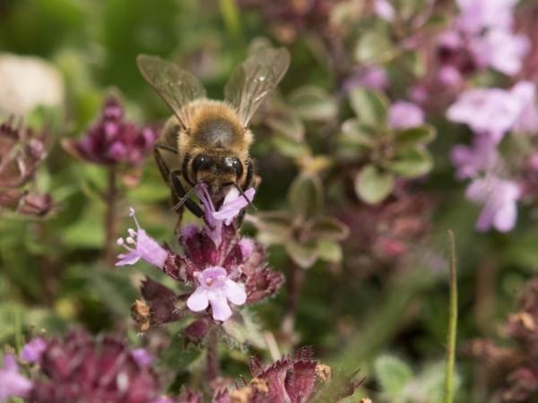 bienenweide heilkräuter bienenpflanze thymian