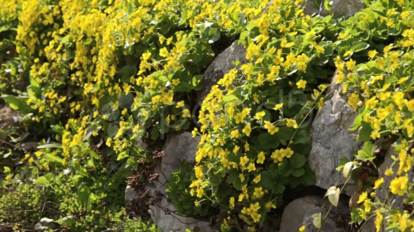 Blooming ground cover: These 20 plants provide beautiful flowers in the garden