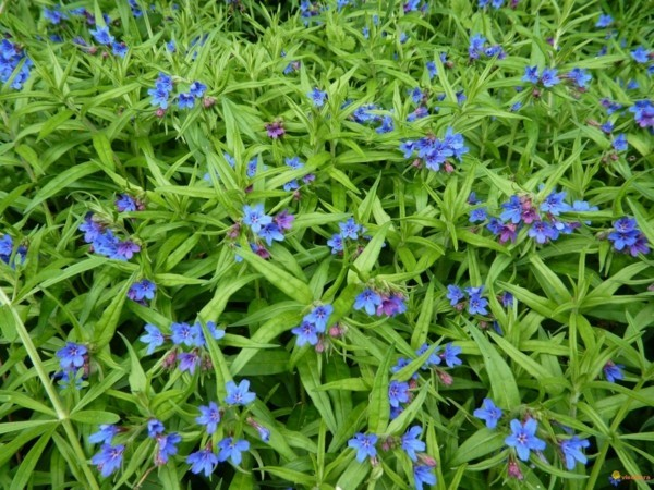 bl hende bodendecker diese 20 pflanzen sorgen f r herrliche bl tenpracht im garten. Black Bedroom Furniture Sets. Home Design Ideas