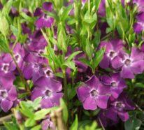 Blühende Bodendecker: Diese 20 Pflanzen sorgen für herrliche Blütenpracht im Garten