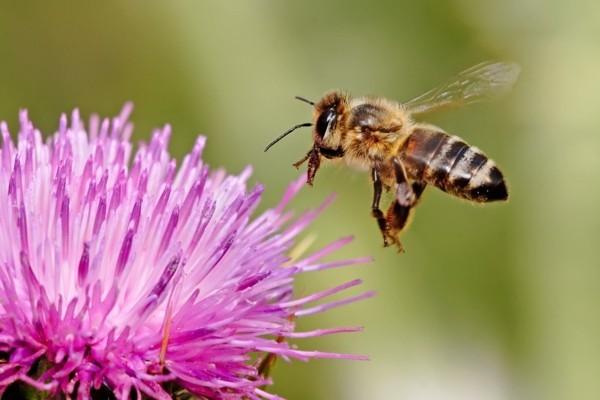 distel bienenweide nektar pollen