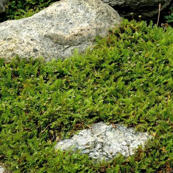 fiederpolster Cotula dioica pflasterfugen begrünen
