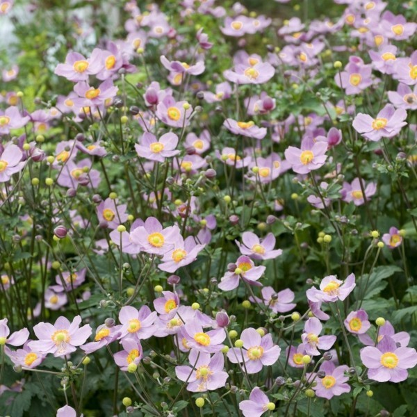 herbstanemone Anemone hupehensis winterharte stauden