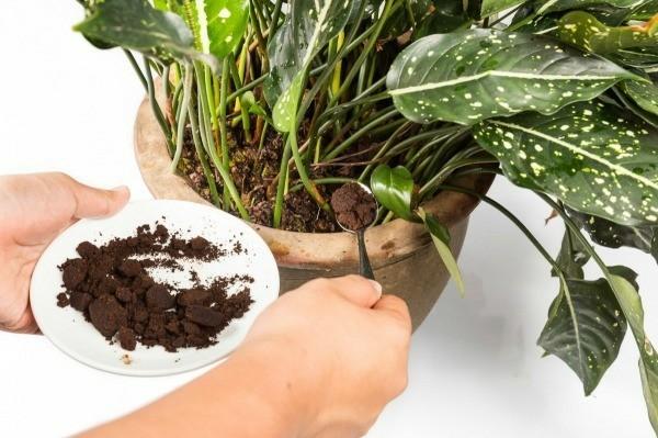 kaffeesatz als dünger für topfpflanzen benutzen