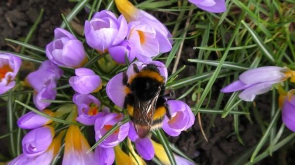 krokusse als bienenweide im frühling