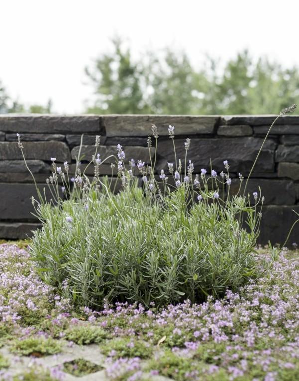 lavendel und thymian bodendecker pflanzen pflasterfugen begrünen