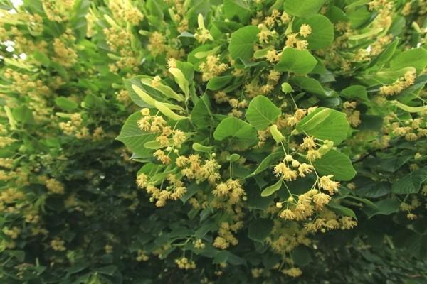 lindenblüten baum als bienenweide