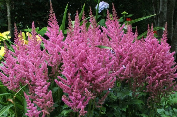 Astilbe chinensis 'Vision in Pink'