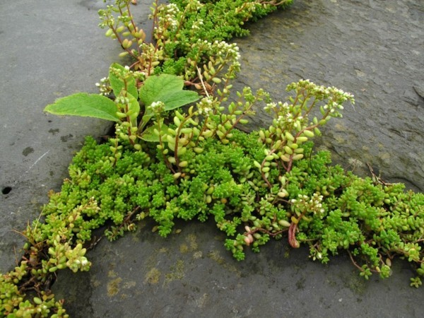 sukkulenten pflasterfugen begrünen ideen bodendecker pflanzen