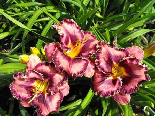 violette blüten taglilien hemerocallis