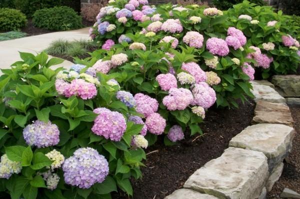 winterharte stauden für halbschatten hortensien Hydrangea