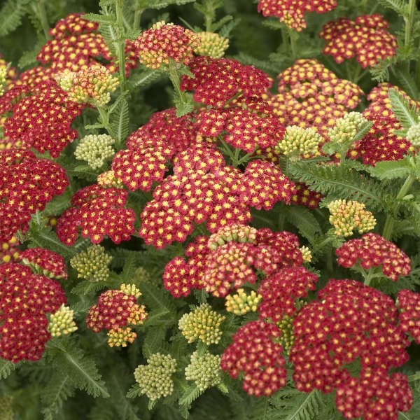 winterharte stauden schafgarben rote blüten