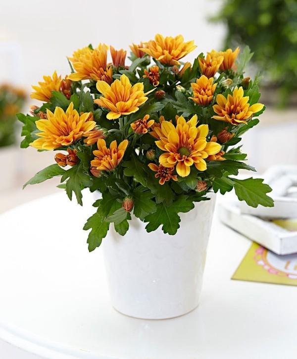 Chrysanthemen in Topf luftreinigende Zimmerpflanzen schöner Anblick grüne Blätter orangenfarbene Blüten