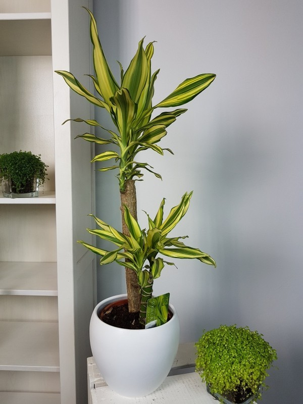 Dracaena Drachenbaum luftreinigende Zimmerpflanzen schön grün macht Raumluft sauber