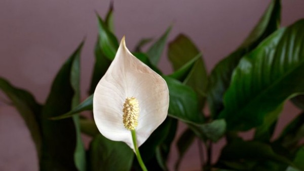 Einblatt zarte weiße Blüte luftreinigende Zimmerpflanzen schöne Raumdekoration