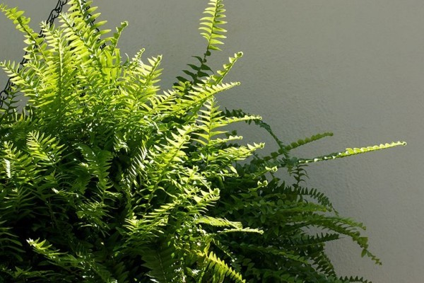 Farn Nummer eins luftreinigende Zimmerpflanzen viel üppiges Grün