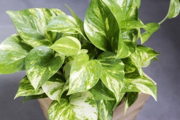 Luftreinigende Zimmerpflanzen Efeutute schöne Blätter leicht gestreift weiß gelb hellgrün