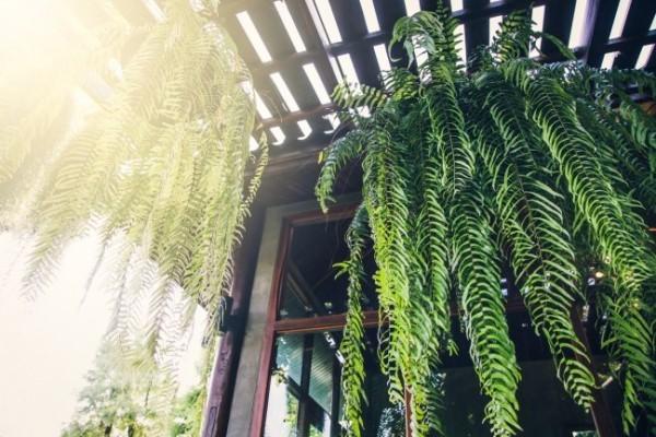 Luftreinigende Zimmerpflanzen Farn üppiges Grün drinnen draußen