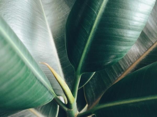 Luftreinigende Zimmerpflanzen Gummibaum grüne Blätter leicht glänzend