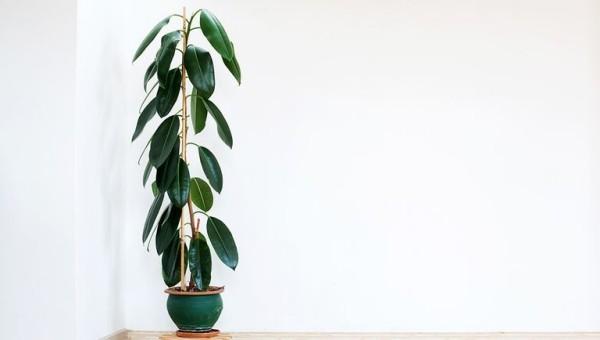 Luftreinigende Zimmerpflanzen Gummibaum schöne Figur im Topf grüne Blätter