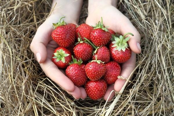 dehydrieren vermeiden rhabarber limonade selber machen erdbeeren bauernhof