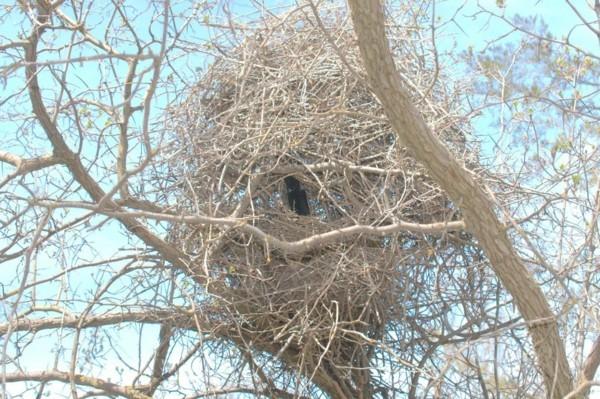 elsternest im garten elster vertreiben nest entdecken