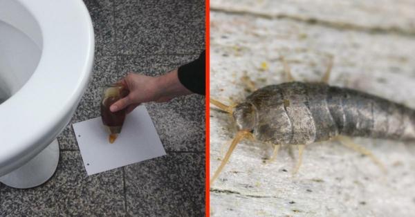 honig falle silberfische