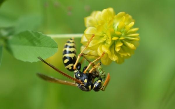 Wespe bestäubt Klee mittel gegen wespen