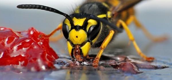 mittel gegen wespen süßigkeiten locken wespen an