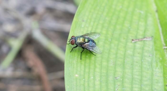 schaedlinge heilkraeuter basilikum fliegen