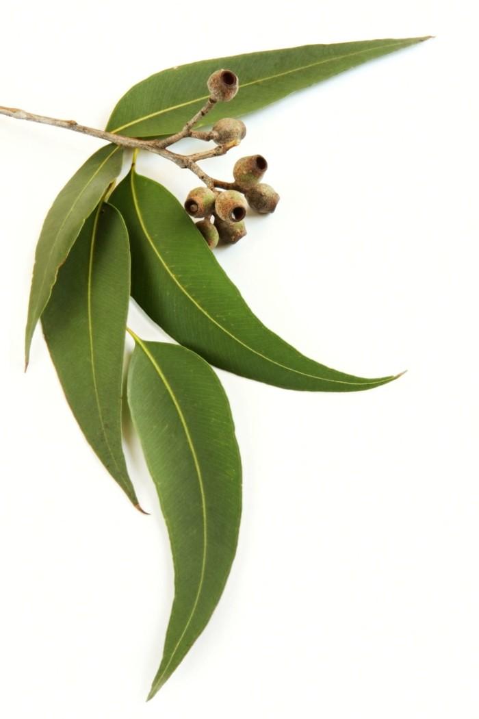 schaedlinge heilkraeuter eukaliyptus