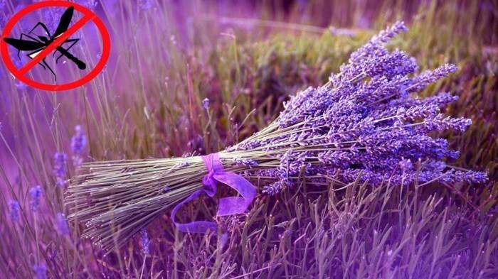 schaedlinge heilkraeuter lavendel muecken