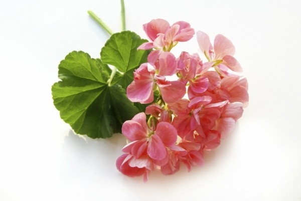zitronengeranie geraniumzucker rosengeranium